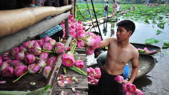 Hanoi's iconic Tay Ho lotuses shrinking