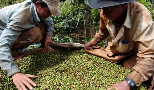 Vietnam coffee exporting sector marred by VAT frauds
