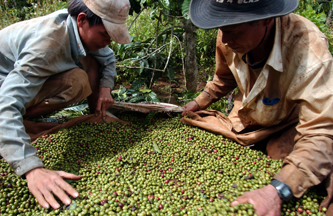 Vietnam's coffee growers turn to pepper as prices soar