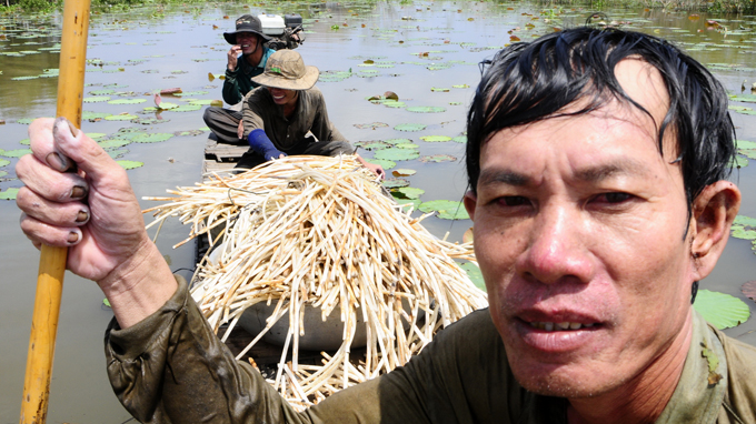 Lotuses 'dethrone' cajuput in southern district