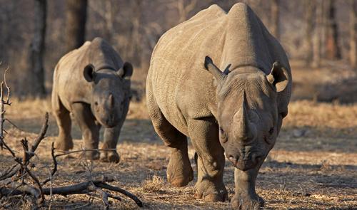 Czech zoo burns rhino horns to help save endangered species