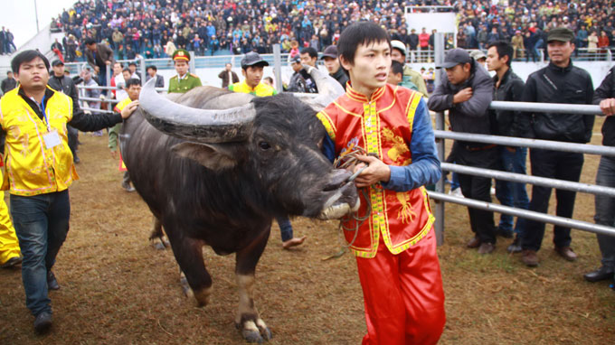 First-ever buffalo fighting fest opens in Hanoi