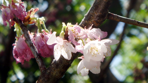 Cherry blossoms imported from Japan for Hanoi festival