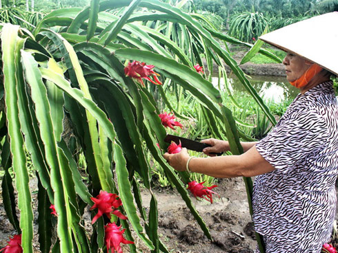 Vietnam's dragon fruit gains access to New Zealand market