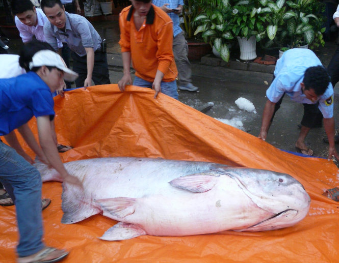 Vietnam restaurant purchases 230kg critically-endangered Mekong giant catfish