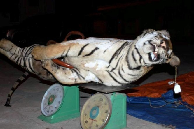Vietnam hotel boss nicked for buying 303kg dismembered tiger to make bone glue