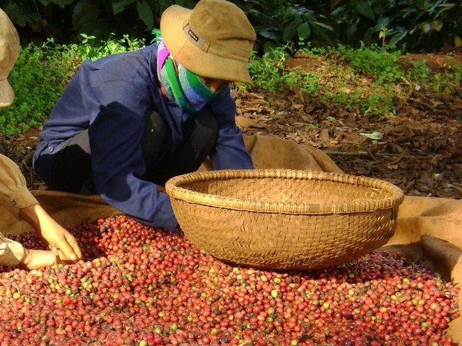 Vietnam to give soft loans for coffee replanting