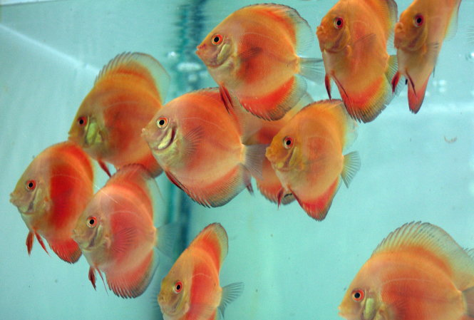 Ornamental fish make exotic Lunar New Year gifts in Vietnam (photos)