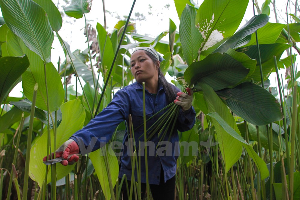 """""""Dong"""" leaves are sold not only during Tet but all round year for wrapping """"banh chung"""" and """"gio cha"""" (Vietnamese traditional ham). Leaves dedicated to the Lunar New Year are carefully taken care of to ensure quality and color."""