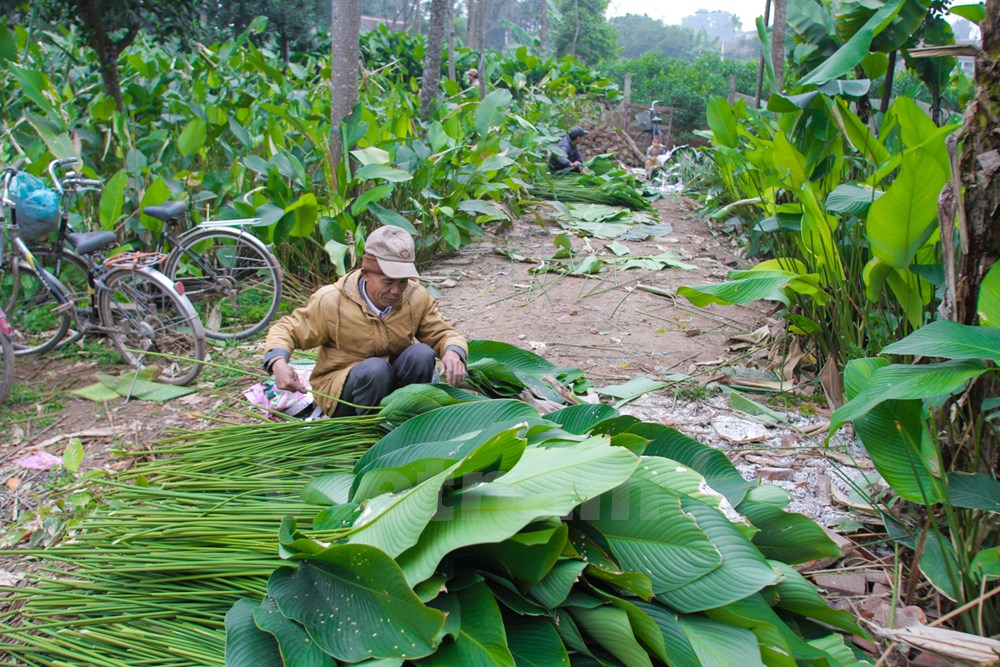 """It does not take much time to grow """"dong"""" plants but forming such a big, long-standing traditional village as Trang Cat is not an easy task. """"Dong"""" leaves are classified by color and size after the harvest. According to a villager, """"dong"""" leaves grown in Trang Cat Village have beautiful color and an irresistible taste."""