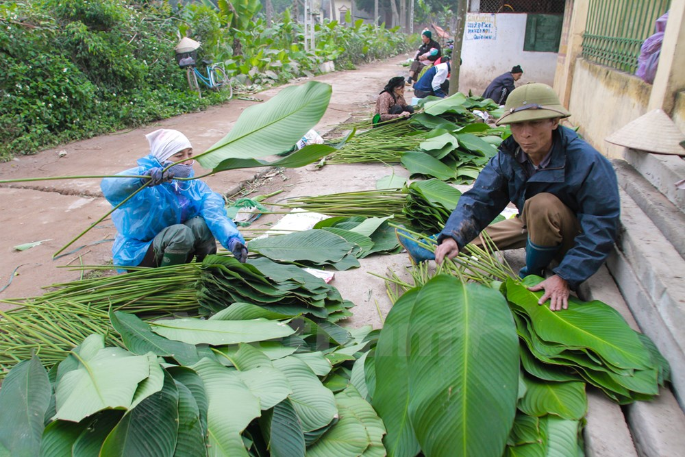 """For 3-4 weeks before Tet, locals start harvesting """"dong"""" leaves to provide for other provinces. The leaves are soaked in water to maintain freshness."""