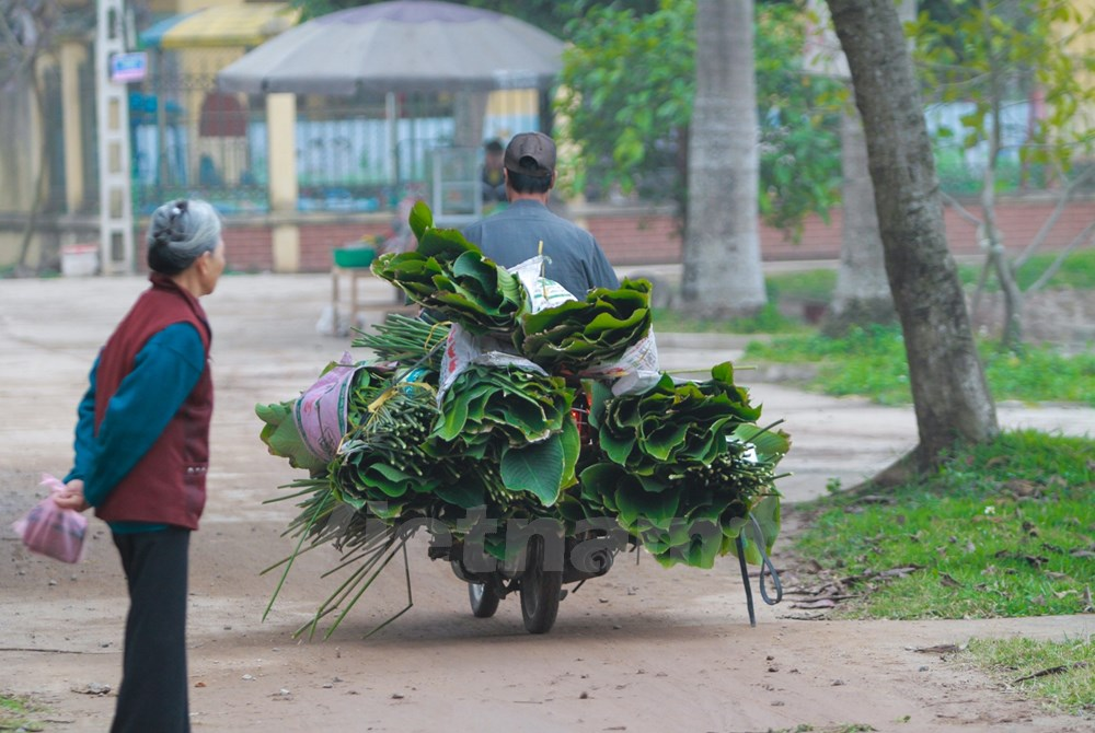 """These days, Trang Cat Village is always bustling and crowded as people are rushing to distribute """"dong"""" leaves to other regions."""