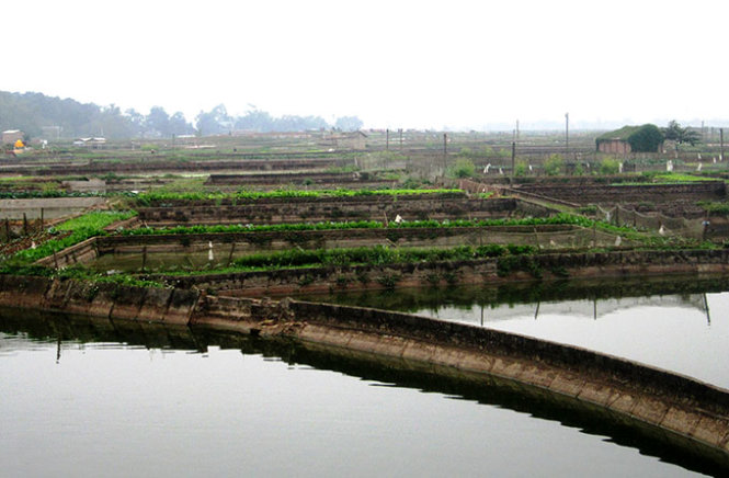 The ponds in Thuy Tram Village where red carps are raised.