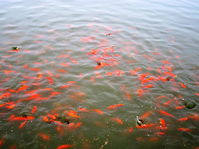A pond full of red carps in Thuy Tram Village.