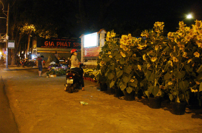 A young woman is shown taking a close look at the tubs of sunflowers at a flower market at Gia Dinh Park at 11:30 pm on February 11, 2015.