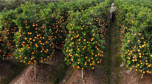Toxic 'Tet' kumquats highlight Vietnam's pesticide problem