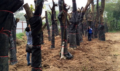 2 Hanoi construction officials asked to review responsibility in 'tree massacre' plan