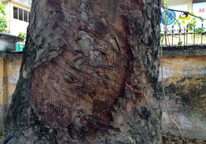 Age-old trees barked secretly in Hanoi as investigation underway