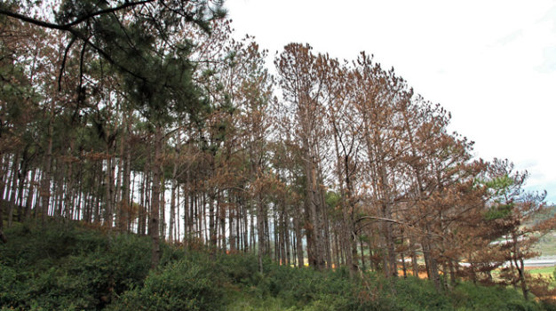 90 pine trees poisoned with chemicals in central Vietnam