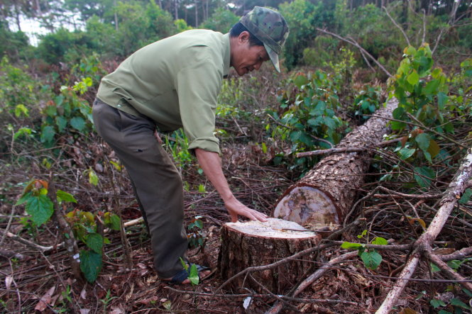 Man captured for poisoning 684 pine trees in central Vietnam