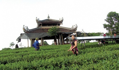 Solar power harnessed to make clean tea in northern Vietnam