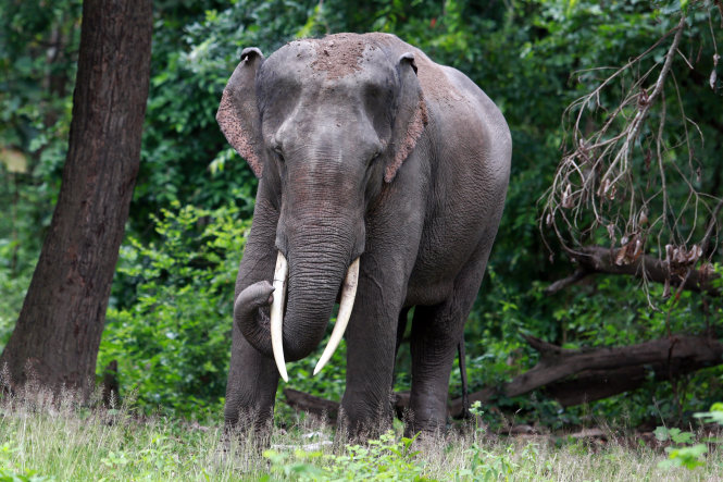Tamed elephants in central Vietnam under permanent watch against tusk thieves