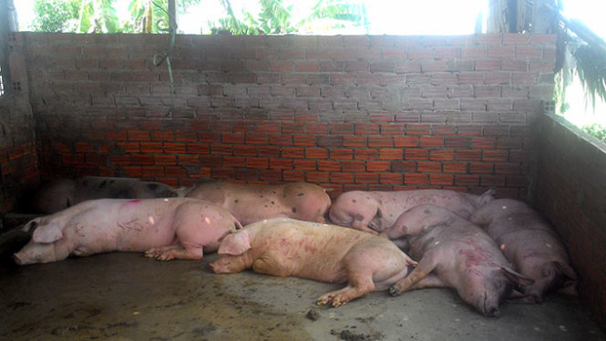 Pigs found sedated before being slaughtered in Ho Chi Minh City