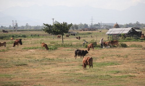 The grassland of cows in Vietnam's Quang Nam Province