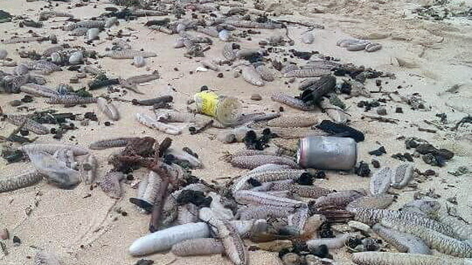 Pollution alarm sounded as sea cucumbers stranded on Vietnam's Phu Quoc Island