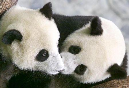 Loggers in China destroying parts of panda sanctuary - Greenpeace
