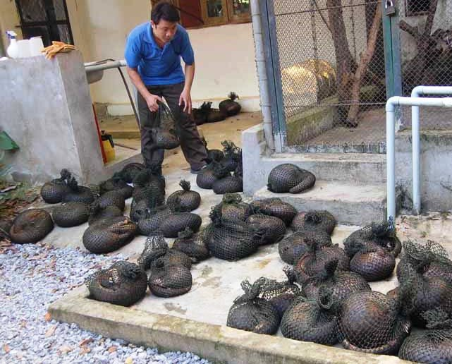 Over 30 pangolins die in Vietnam reserve due to legal issues