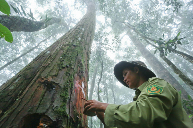Cypress forest survives in Central Highlands of Vietnam