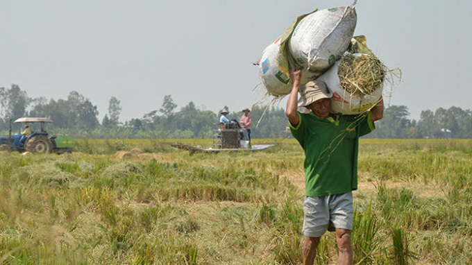 In Vietnam's Mekong Delta, farmers fertilize rice with cement