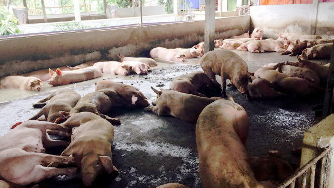 Use of banned chemicals out of control in Vietnam's southern pig breeding hub