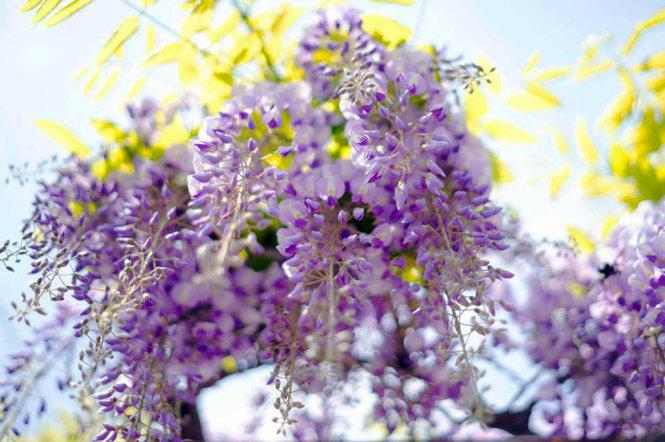 A close-up of purple Fuji flowers