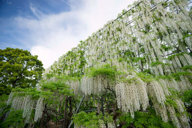 A wall of white Fuji flowers