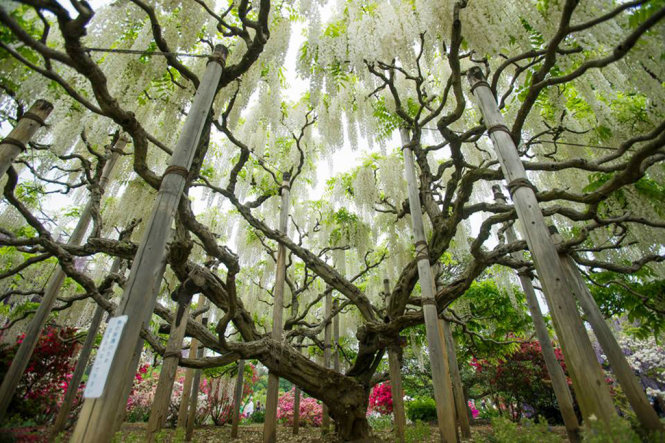 The ancient white Fuji flower tree at Ashikaga Flower Park