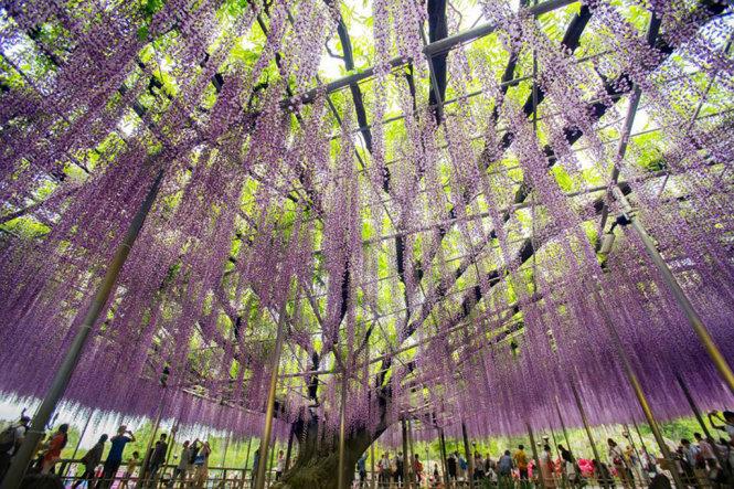 The 150-year-old Fuji flower tree at Ashikaga Flower Park