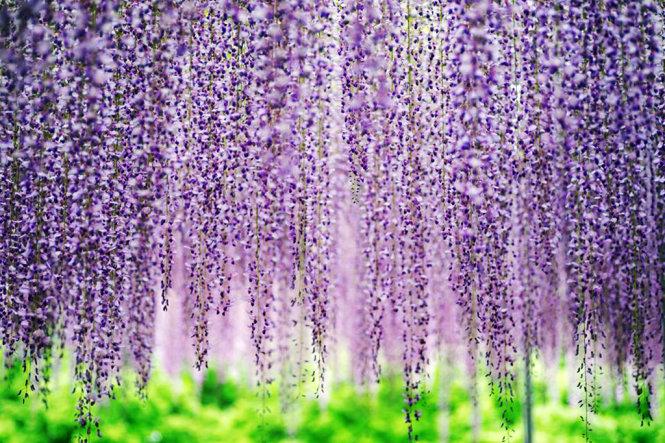 A curtain of purple Fuji flowers