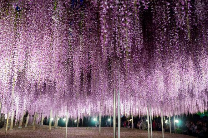 A curtain of purple Fuji flowers at night