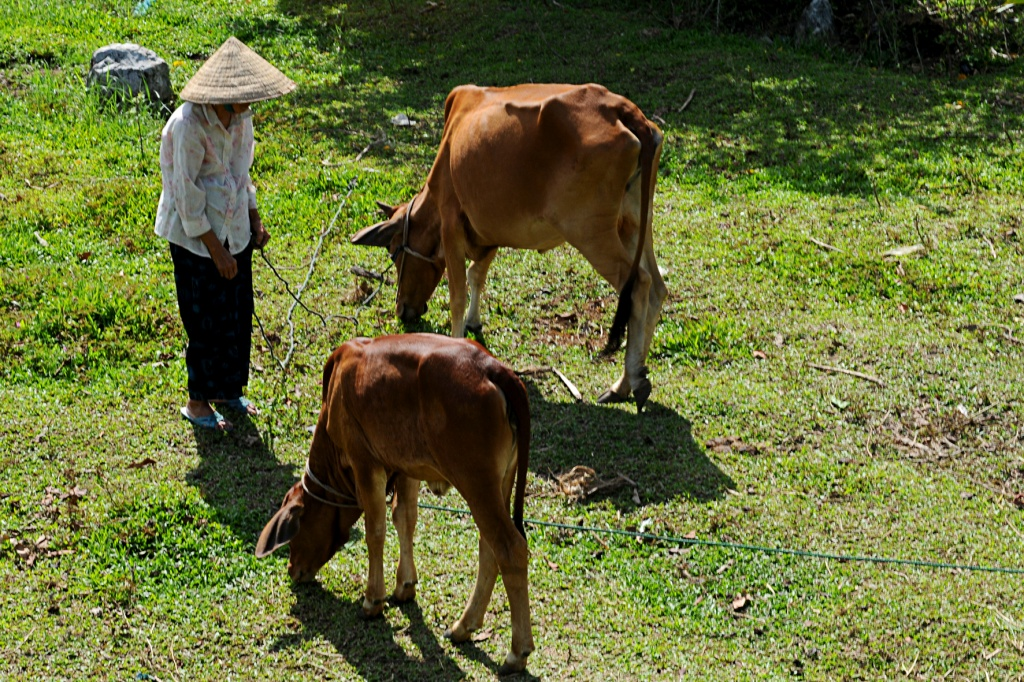 Tran Thi Dang works as a cattle tender for her neighbors to earn a living.