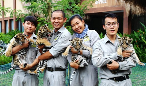 Four new baby tigers were born last month at the Vinpearl Safari off the southern province of Kien Giang.