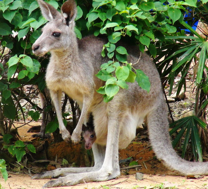 A kangaroo holding its baby in its pouch.