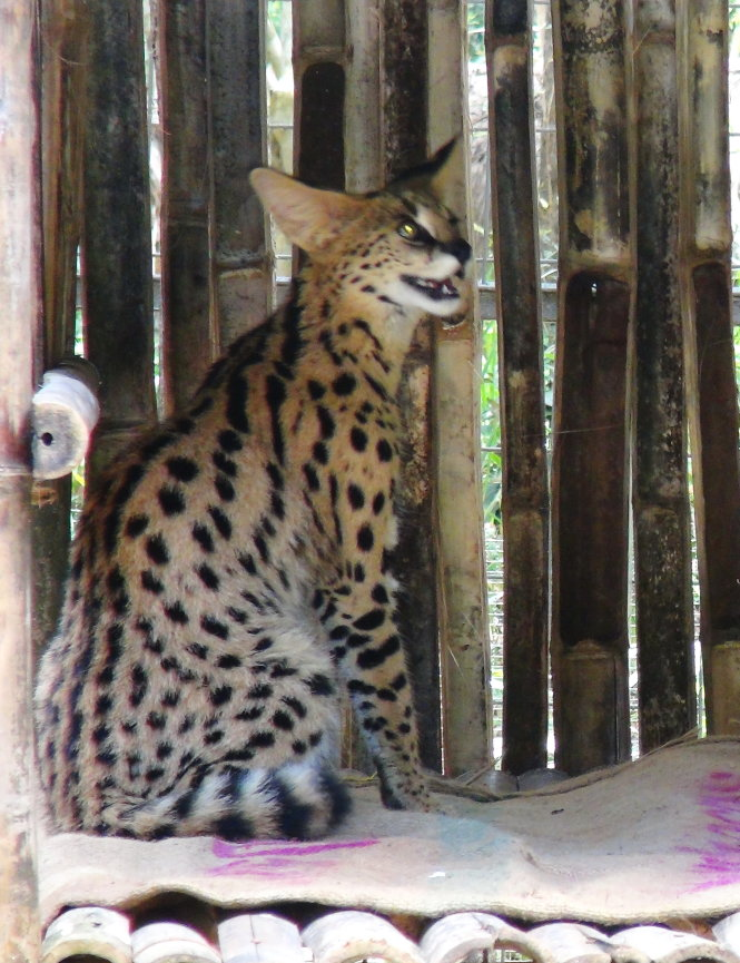 A five-month-old serval at the Vinpearl Safari off the southern province of Kien Giang.