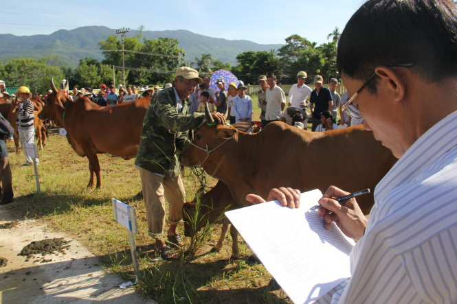Unprecedented beauty pageant in central Vietnamese province highlights cows' physique, fertility