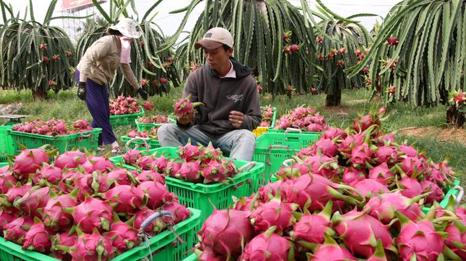 Australia to import Vietnamese dragon fruit