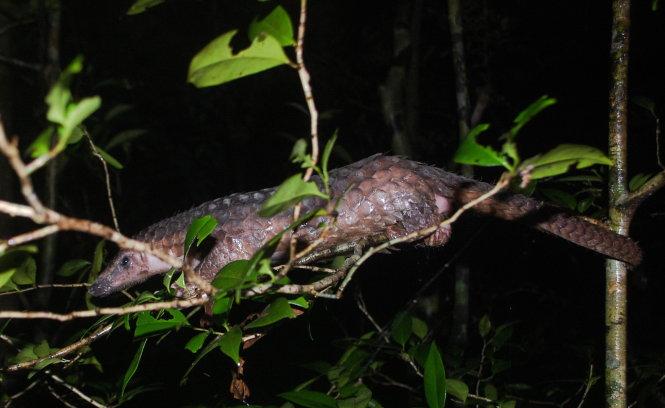 33 endangered Javan pangolins released to Vietnam forest