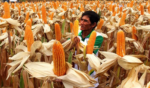 Genetically modified corn's high financial potential: Vietnam's Dep't of Crop Production