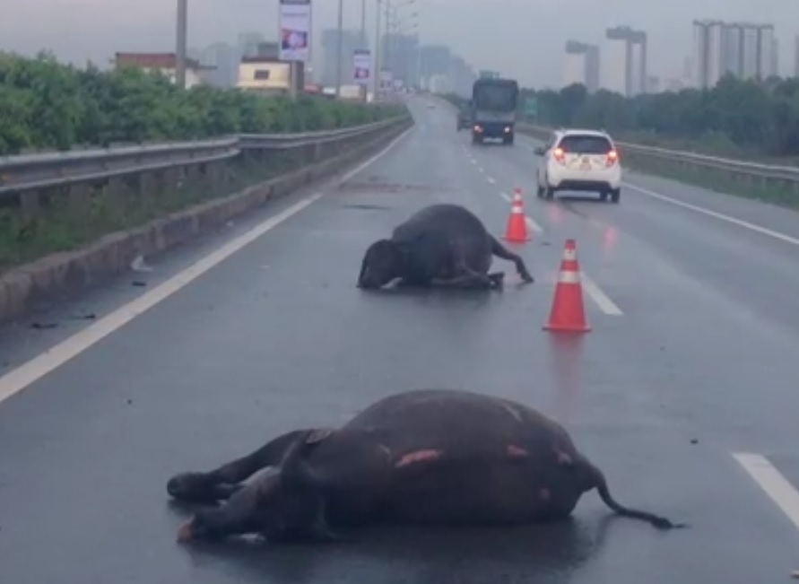 Livestock – vehicle collision to be resolved urgently in southern Vietnam