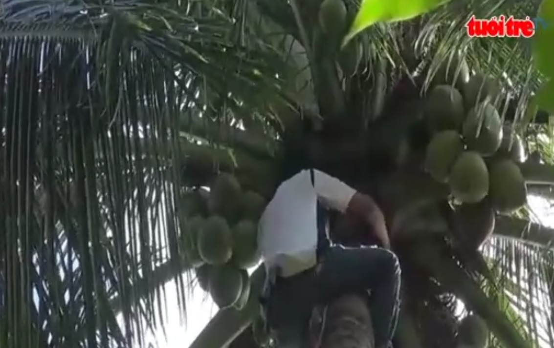 Blind Vietnamese man climbs coconut trees to support family